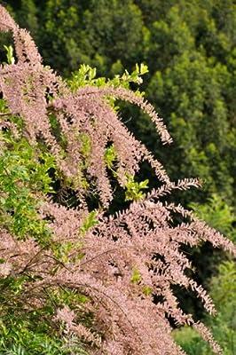 Tamariske lila blühend, 2 Pflanzen von Amazon.de Pflanzenservice - Du und dein Garten
