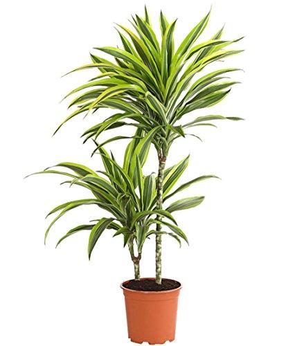"""Dehner Drachenbaum\""""Lemon Lime\"""", zweitriebig, ca. 60-70 cm, Zimmerpflanze"""