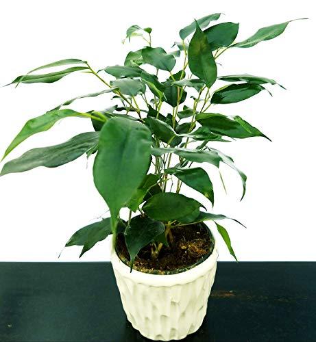 ficus benjamin verde in vaso ceramica, pianta vera