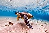 Schildkröte Meer Unterwasser Sand XXL Wandbild Kunstdruck Foto Poster P1311 Größe 90 cm x 60 cm