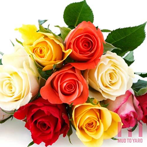 HATCHMATIC 19: 100 Stück Narzisse Samen (Nicht Birnen) Narcissus daffadowndilly Lent Lily Flowe