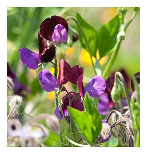 Premier Seeds Direct SWP13F Platterbse Grandiflora Matucana enthaelt 90 feine Samen