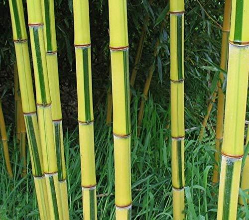 Phyllostachys vivax 'Aureocaulis' C5-5 Liter 125-150 cm - Zauber Bambus - Zauberbambus