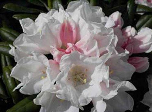 Rhododendron yakushimanum Edelweiß - Ball-Rhododendron Edelweiß (25-30)