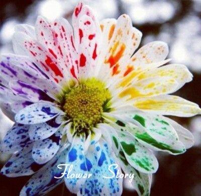 50 Wasser-Farben-Gänseblümchen-Samen reizender Regenbogen-Aquarell Gänseblümchen Natürliche DIY Garten-Blumen