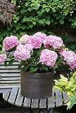 Gartenhortensie rosa blŸhend. 1 Strauch - zu dem Artikel bekommen Sie gratis ein Paar Handschuhe fŸr die Gartenarbeit dazu