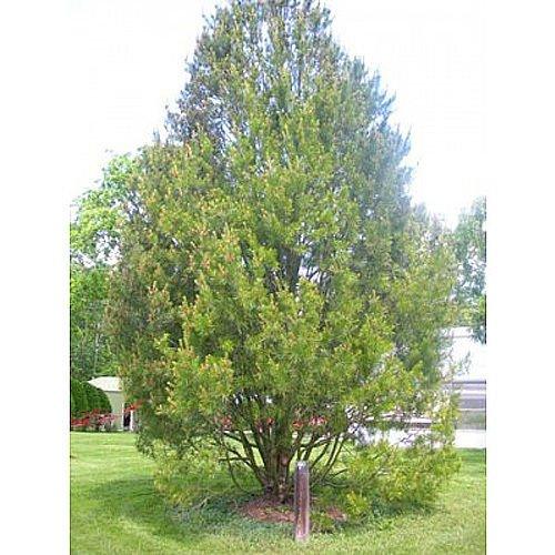PLAT FIRM GERMINATIONSAMEN: 50 Bunges Kiefer-Baum-Samen, Pinus Bungeana