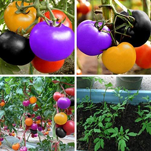 swiftt 100pcs bunte Tomatensamen Kirschtomatensamen Balkon Obst und Gemüse Saatgut Topf Bonsai Topfpflanze Tomatensamen-Mix