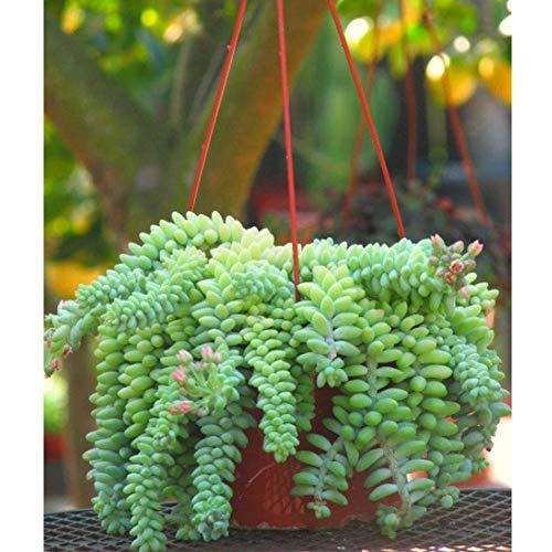 100 stücke Ein Sedum Burrito Esel Schwanz Kaktus Sukkulenten Samen Bonsai Home Plant