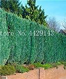 IDEA HIGH Samen-Garten Topfpflanze 30 Stück seltene blaue Zypresse Bonsai-Baum, Bonsai für Blumentopf Pflanzgefäße: 13