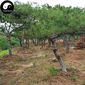 Kaufen Red Kiefer Samen 60pcs Pflanze Pinus tabulaeformis Baum für Chinesische Kiefer
