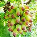 Yukio Samenhaus - 50 Stück Tafel-Trauben-Kollektion Saatgut Hofpflanzen Souvenir Weinrebe Obstsamen Winterhart bis -20°C von Yukio - Du und dein Garten