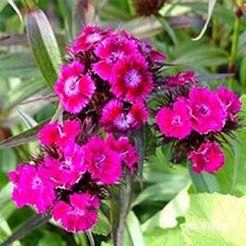 Fash Lady Dianthus-Oeschburg- 100 Samen - 50% Rabatt auf den Verkauf