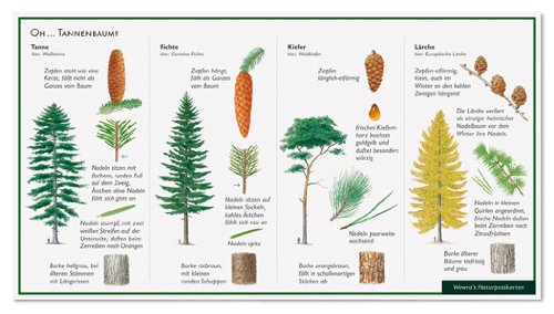Nadelbäume - Oh ... Tannenbaum - Tanne - Fichte - Kiefer - Lärche - Wawra Naturpostkarte zum Entdecken, Beobachten, Bestimmen - 22 cm x 12 cm