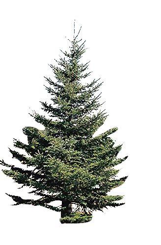 Weiß-Fichte -Picea Glauca- 50 Samen ''Bis 50 Meter''