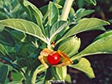 #10: Seedlings india Ashwagandha Herbal & Medicinal live plant