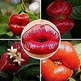 Pflanzgefäßen brechsträucher Aralie Blume des Lippen Samen wie Sexy Lippen Bonsai Pflanzen Samen 100Samen/Beutel