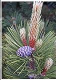 TROPICA - Pino loricato (Pinus leucodermis) - 20 Semi- Magic tropical