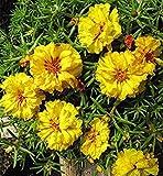 Virtue 100 Stücke Mischfarbe Moos-Rose Portulak Doppelblumensamen Für Pflanzen (Portulaca Grandiflora) Wärme Tolerant Einfach Wachsen 2