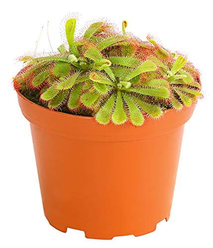 Schlauchpflanze Exotisch