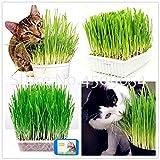 Bloom Green Co. Bonsai Katze Graspflanzen 200 Stück Katze Weizen Kraut Bonsais Planta für Garten nach Hause zu pflanzen Perennial Non-GMO Essbare Zitronengras