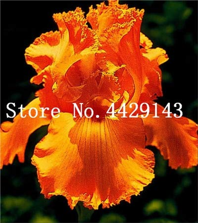 Galleria fotografica prime vista 100 pezzi Bonsai Iris Flower Perennia Flower Rare Flower iris barbuto, piante della natura Orchidea fiore DIY per giardino Facile da coltivare: 8