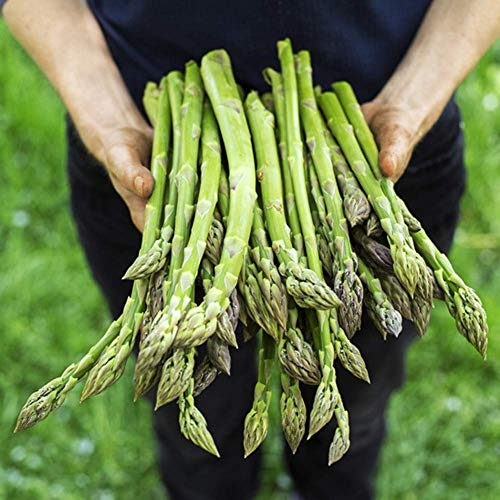Spargel-Samen, 20 + Samen, ohne GMO Bio, 90% Keimraten, hochwertigste Qualität, 100% rein gepflanzter Frischmarktspargel - grün