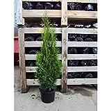 10 St. Heckenpflanze Lebensbaum Thuja Smaragd 50 - 220cm (50/60cm 2L)