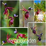 100 Exotischer Orchideensamen fliegende Ente weltweit seltene Orchidee