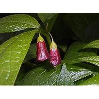 Asklepios-seeds® - 25 Semillas de Scopolia carniolica Scopolia carniolica