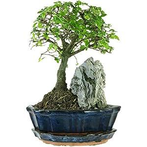 Chinesische Ulme, Bonsai, 7 Jahre, 24cm