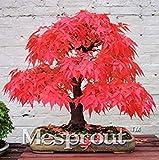 100% Echte japanische Red Maple Bonsai-Baum Günstige Samen, 20 Samen / Pack, sehr schöne Innen Baum DIY Hausgarten