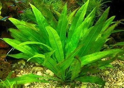 1 Echinodorus Mutterpflanze Grösse 20-35cm von 369 bei Du und dein Garten