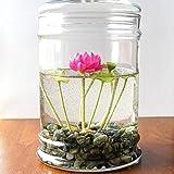 Wekold Mini Loto Set di 5 Semi di Water Lotus Piccolo Pianta Acquatica da Giadino e Ufficio Camera Intern, Seme di Forte Vitalità Facile da Crescere