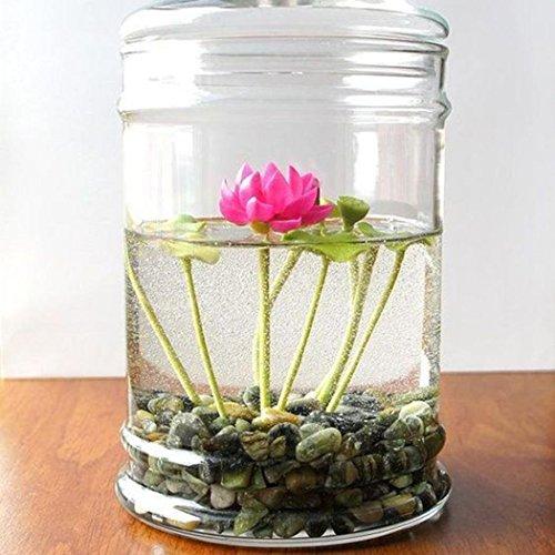 Wekold Mini Wasserlotus 5 Samen - Saatenmischung für Wohnung und Garten Bio Hochbeet -