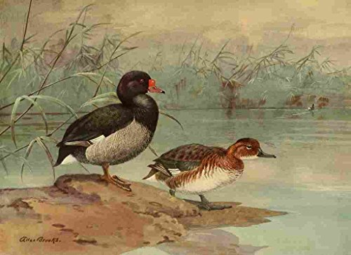 A4 Photo Brooks Nat History of Ducks 1925 Rosy billed Duck Print Poster -