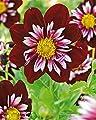Lemo Gartendesign Halskrausendahlie `Night Butterfly` (Dahlia Halskrause `Night Butterfly`, 1 Stück) von Lemo Gartendesign bei Du und dein Garten