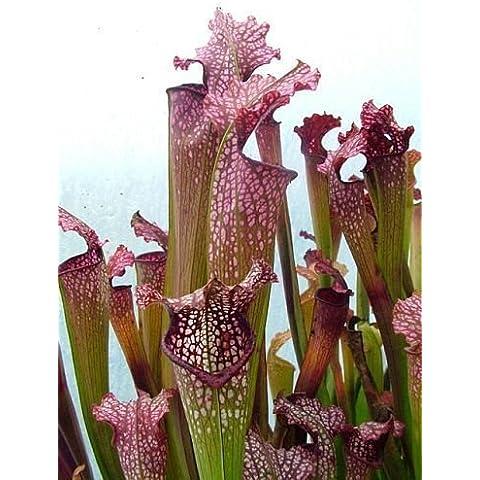 Sarracenia x excellens pink big form - Sarracena, Planta de jarra Norteamericana, Plantas trompeta, Cuerno de caza - 5