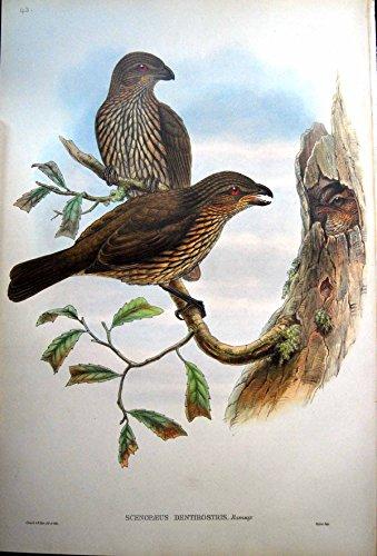 Gould Vogel-prints (Drucken Sie Gezahnten Berechneten Bower-Vogel John Gould Scenopoeus Dentirostris Ramsay)