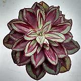 Echeveria nodulosa - Esqueje de Hoja (sin raíces)