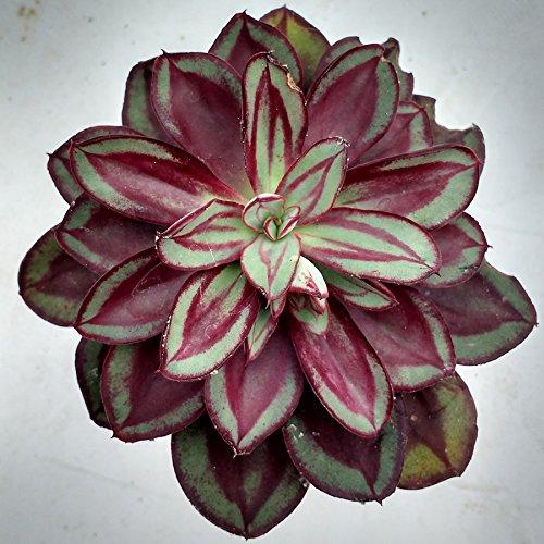 Echeveria nodulosa - 1 Bouture de feuille
