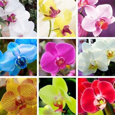 Blumensamen für zu Hause Garten Phalaenopsisorchidee Samen kaufen-direct-from-china orquidea semente 30PCS Orchidee-Samen F96 MIX