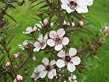 Portal Cool Leptospermum lanigerum Silber Sheen - Manuka, Teebaum - 3 Pflanzen In 9cm Töpfe