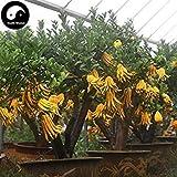 Kaufen Citrus Medica Sarcodactylis Baumsamen 120pcs Pflanze Citron Bergamotte Baum