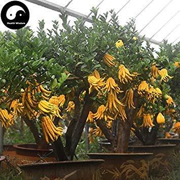 ASTONISH Erstauner SEEDS: Kaufen Medica Sarcodactylis Baumsamen 120pcs Pflanze Citron Bergamotte Baum