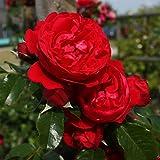 Kletterrose Kordes Florentina. rot. 1 Stck im Plant-o-fix-Topf - zu dem Artikel bekommen Sie gratis ein Paar Handschuhe für die Gartenarbeit dazu