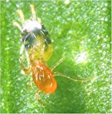 Phytoseiulus: red spider mite killer pack of 2000
