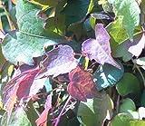 Wilder Wein - Jungfernrebe - Parthenocissus tricuspidata - Veitchii - Kletterpflanze, schnellwüchsig, schöne Herbstfärbung, 40-60 cm