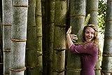 40pcs / bag semi di bambù giganti rari Moso nero semi di bambù bambu pacchetto professionale Bambusa Lako semi di albero per il giardino di casa