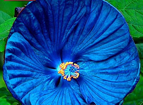 Kostenlos Samen (ScoutSeed KAUFEN 3 ERHALTEN 2 KOSTENLOS Riesen-Hibiskus-Blume Schöne Blumen-Bonsai-Samen 50pcs MIX)